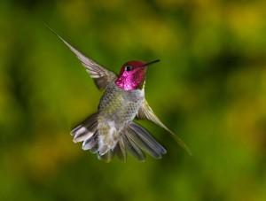 hummingbird  flying in the garden